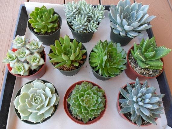 Reserved For Paula, Succulent  Plants For You Aquarium Terrarium, Ship April 29