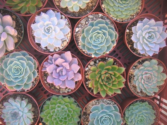6  Large Succulent Plants, Great For Bouquets, Centerpieces and Home Decor, Rosette Shape, TREASURY ITEM