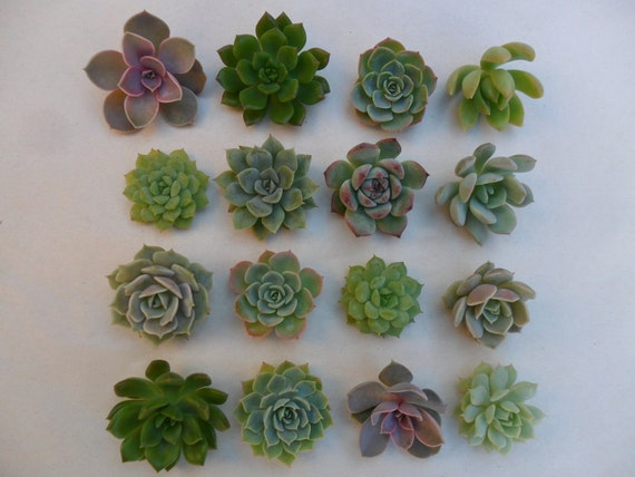 24 Succulents Cuttings, All Will Be Small Rosettes, Boutonnieres, Wedding Cakes, Cupcake Toppers, Vertical Living Walls, TREASURY ITEM