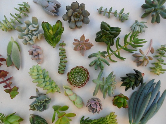 30 Succulents Cuttings, A Nice Assortment, Great For Starting a Garden, Living Wall, Centerpieces and Bouquets