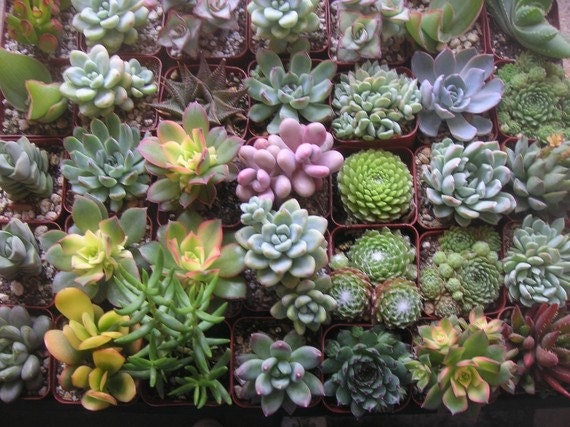 RESERVED For Paula, A Collection Of 100 Succulent Plants, Great Wedding Decor And Favors, Ship Date October 1