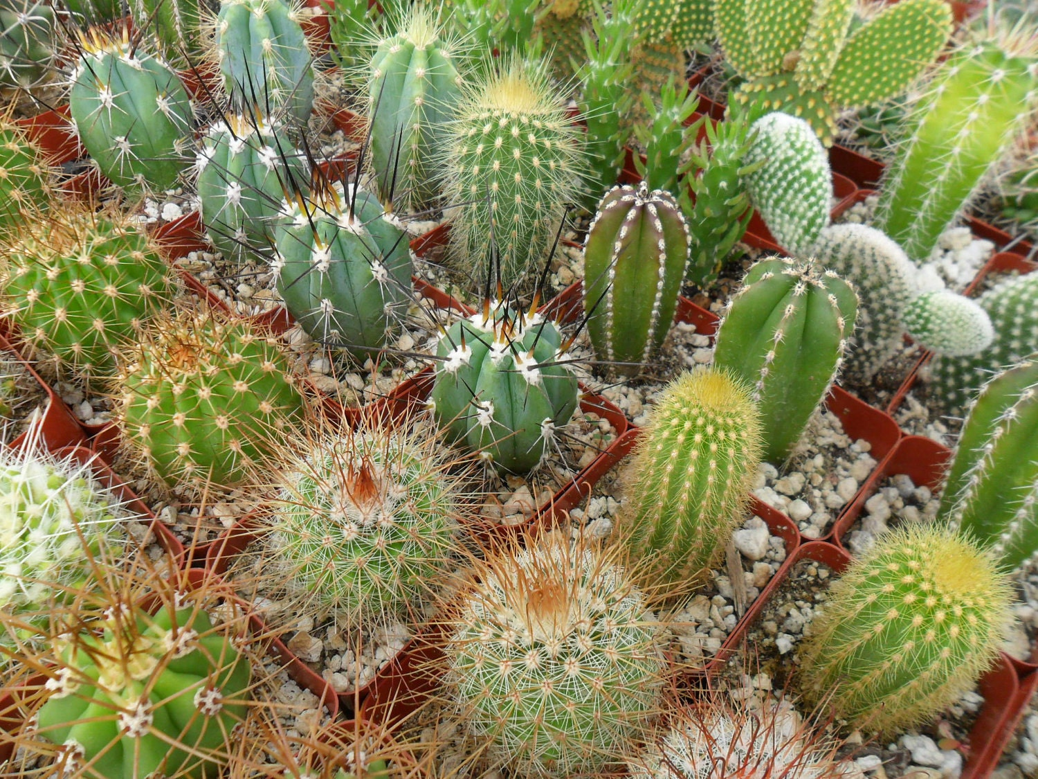 Cactus plants deals on 1001 blocks - What is cactus plant good for ...