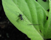 Carpenter Ant on Sweet Potato Vine 8x10 print (other sizes available - see shop announcement)