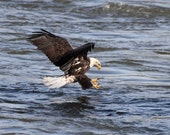 Bald Eagle -  Signed Fine Art Photography - 8x10 print - Free Shipping to the U.S.