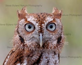 Eastern Screech Owl Photos - 5x7 Matted Signed Fine Art Photography - Free Shipping to the U.S. via Priority Mail