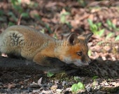 SALE - Baby Fox Lovers Three Photo Pack - THREE 4X6 Matted Signed Photos - Free Shipping to the U.S.