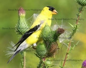 American Goldfinch on Thistle - 5x7 Matted Signed Fine Art Photography - Free Shipping to the U.S.