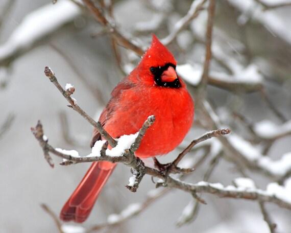 Items Similar To 8 X 10 Unmatted Cardinal Photos