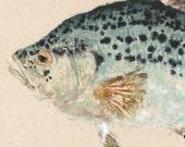 Crappie - Gyotaku Fish Rubbing - Limited Edition Print (17.5 x 10)