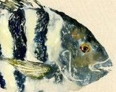 "Sheepshead - ""Convict"" - Gyotaku Fish Rubbing - Limited Edition Print (18.25 x 11)"
