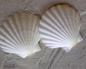 Scallop Shells - White English Scallop Shells - Beach Wedding Shells - Seashells - White Seashells - 3 1/4 - 3 3/4 inches - Mermaid Shells