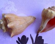 Irregular Mini Conch Shell 555