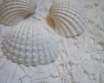 3 White Ark Shells  - Weddings