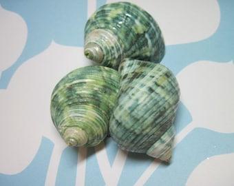Jade Turbo Seashells  - Polished Spiral