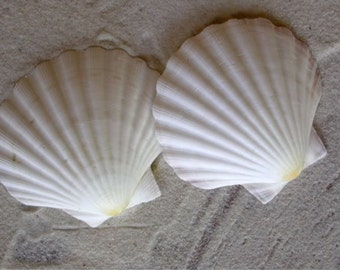 Scallop Shells - White English Scallop Shells - Beach Wedding Shells - Seashells - White Seashells - 3 1/4 - 3 3/4 inches - Mermaid Shells