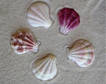 5 Seaside Scallop Shells