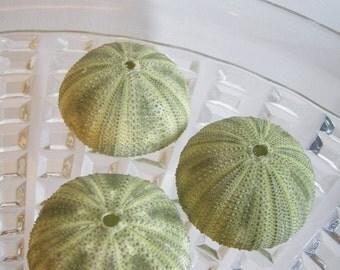 Private Listing for artsysms11091962  AssortedSea Urchins - Unique Sea Creatures