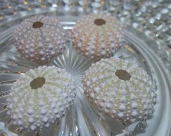 4 Mini Sea Urchins - Unique Creatures