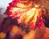 Nature Photography, Autumn Leaves Fine Art Photograph, Wine Country, Fall Season, Bright Orange Leaf - Autumn Fire