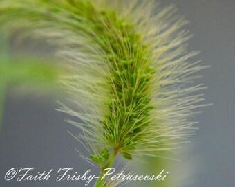 Grass Seed Bearer 8x10 Photo