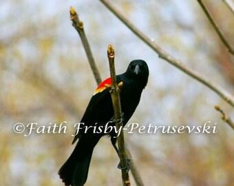Intense Stare Red Winged Blackbird 5x7 Photograph