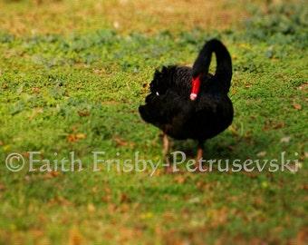 Bashful Black Swan 5x7 Fine Art Photograph