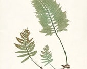 Vintage Fern Botanical Giclee Art Print - Ferns of Britain and Ireland - Plate 4
