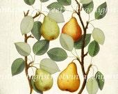 Vintage Italian Pears Botanical Giclee Art Print 8x10