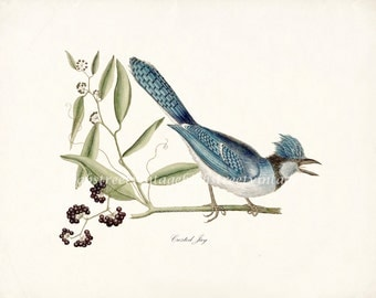 Crested Jay Natural History Giclee Art Print