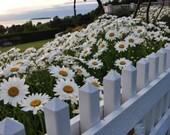 White Picket Fence n Daisies 5x7 Photo