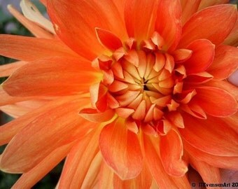 Orange Dahlia Fine Art Print 11x14