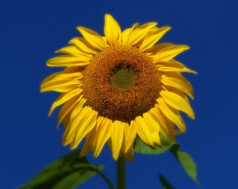 Photography Print 8x8 Yellow Sunflower Blue Sky