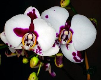 Orchids : Purple White Black