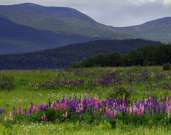 Fine Art Nature Photography,Flower Art, Purple Mountain Majesty Print,  Lupines and Mountains, Wall Hanging, 8X10 Mat,  Ready to Frame
