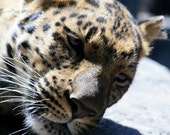 Matted Photo 8x10 Amur Leopard