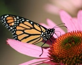 Matted Photo 8x10 Monarch on Coneflower