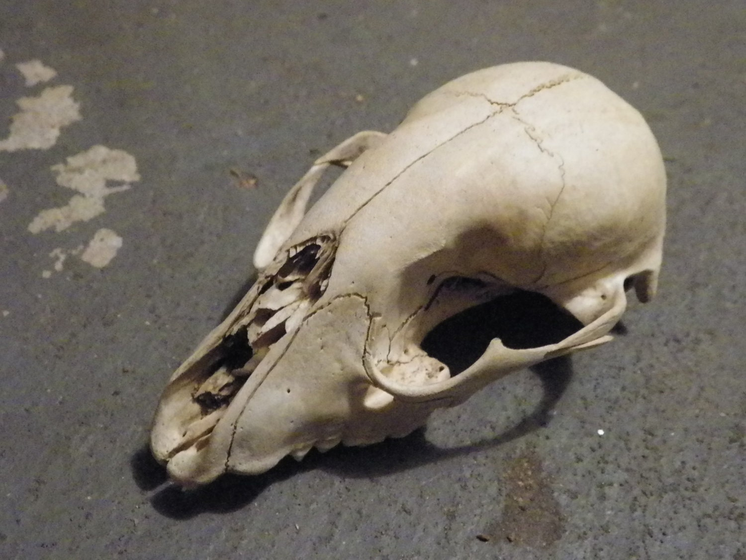 Reserved Small Animal Skull Taxidermy Natural History