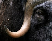 Muskox- Photo Note Card
