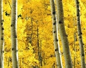 Aspens Fall Golden Leaves Autumn Yellow Trees Aspen Photo Rustic Cabin Colorado