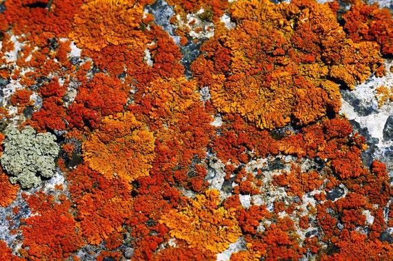 Living Rock Elegant Sunburst Rock Lichen Alpine Meadow Rusts Orange Rustic Cabin Ldoge Photograph