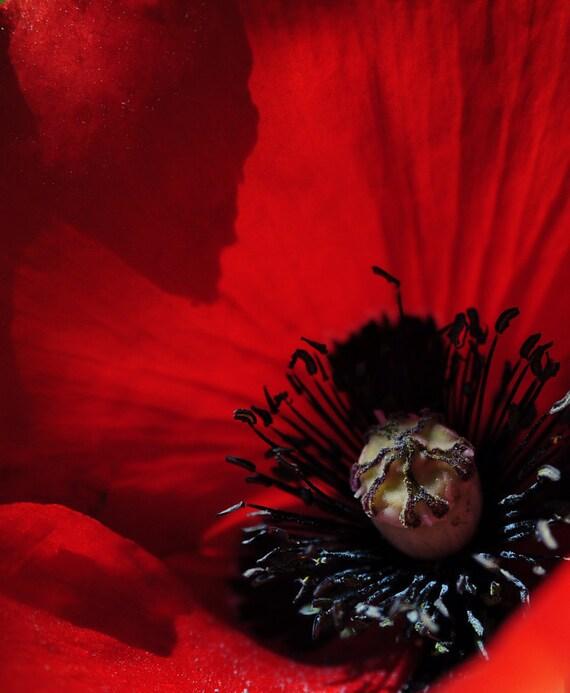 Poppy Crimson Red Flowers Remembrance Blazing Bright Floral Closeup Vivid Bold Cabin Rustic Lodge Photograph