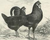 La Fleche, Reproduction Antique Poultry Print, Ludlow, Birds, Chickens, Country Cottage Decor, Kitchen Decor