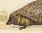 Mole, Hedgehog Shrew, Whale, Reproduction Antique Natural History, Vintage Print, 1902, Animal Picture, Paul Wagner, Frameable Art