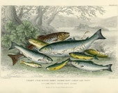 Salmon, Gilse, Salmon Trout, Great Lake Trout, River Parr, 1870 Goldsmith, Hand Colored Antique Print, Antique Engraving Ichthyology Print