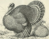 American Bronze Turkey, Enhanced Reproduction Antique Poultry Print, Ludlow Birds, Chickens,  Country Cottage Decor, Kitchen Decor
