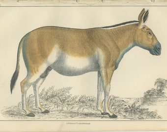 Dziggtai, 1868 Goldsmith Antique Print, Scarce (58) Hand Colored Coloured, Copper Engraving, Fullerton, Frameable Art