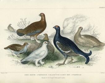 Antique, 1870, Rare Goldsmith, Hand Colored, Partridge, Grouse, Black Cock, Grey Hen, Ptarmigan, Bird  Engraving 56
