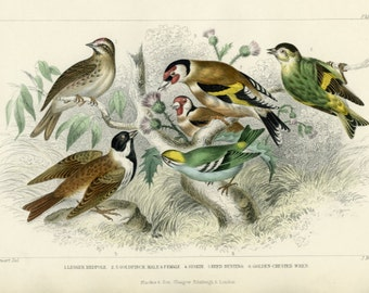 Antique, Rare, 1870 Goldsmith, Lesser Redpole, Goldfinch, Siskin, Reed Bunting, Golden-Crested Wren, Hand Colored (59) Engraving