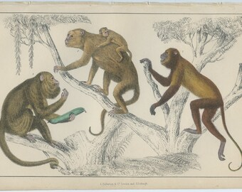 Howler Monkeys, Rare Antique Print 1868 Goldsmith (53) Hand Colored Coloured, Copper Engraving, Fullerton, Frameable Art