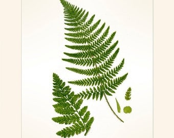 Broad, Prickly-Toothed Fern, Reproduction Antique Botanical Fern Print, Anne Pratt 1889, Frameable Art, Library Decor, Country Cottage